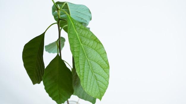 Grande spazio sano della copia del fondo della pianta dell'avocado del bambino delle foglie sane