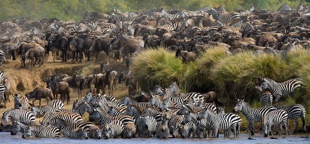 La grande mandria di gnu riguarda il fiume mara