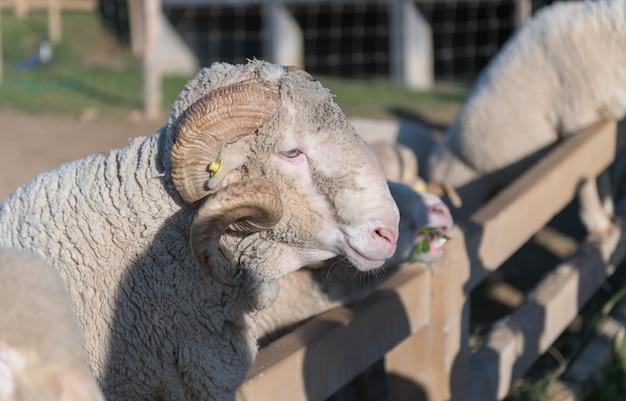 Big horn rams o pecore merino di arles sulla vista laterale in azienda agricola