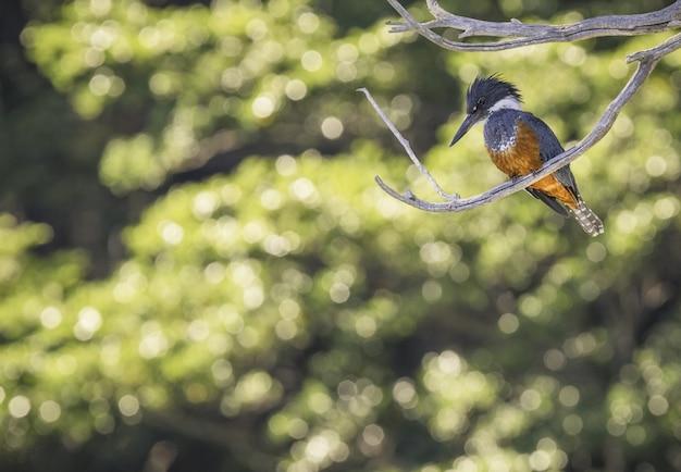Grande uccello del martin pescatore su un ramo