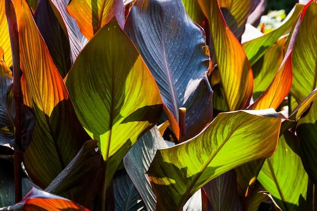 Primo piano di grandi foglie, luce solare e ombre sulla pianta, priorità bassa della natura