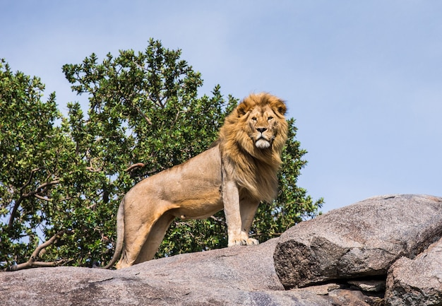 Grande leone in piedi su una roccia