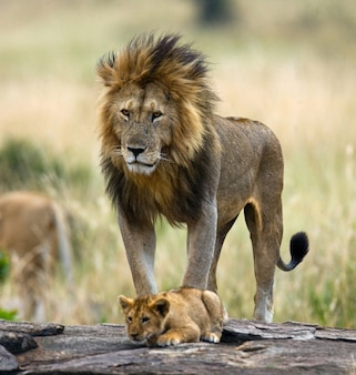 Grande leone maschio con cucciolo. parco nazionale. kenya. tanzania. masai mara. serengeti.