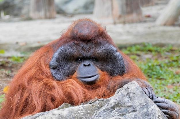Una grande scimmia arancione orangutan maschio.