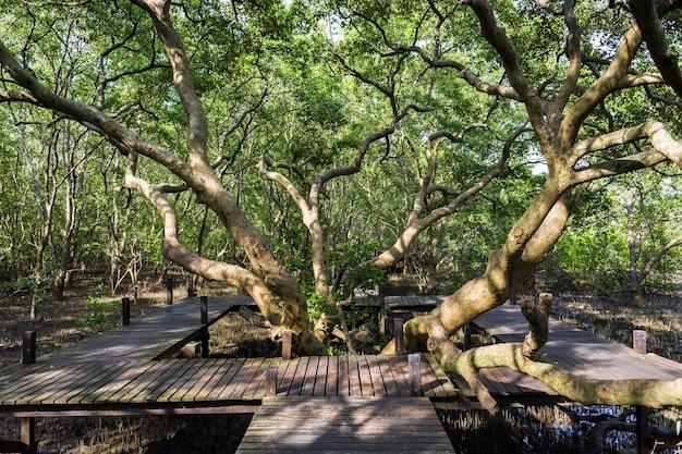 Grande albero di mangrovie con legno intorno alla foresta di mangrovie