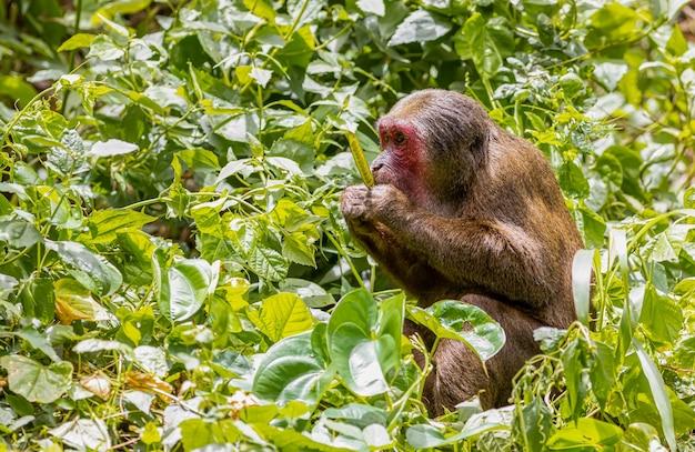 Grande scimmia con la faccia rossa