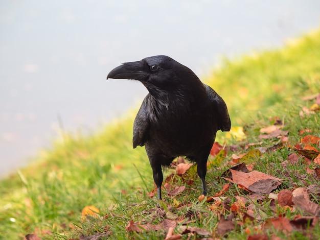 Big raven in posa in un prato in autunno, ritratto di un corvo nero.