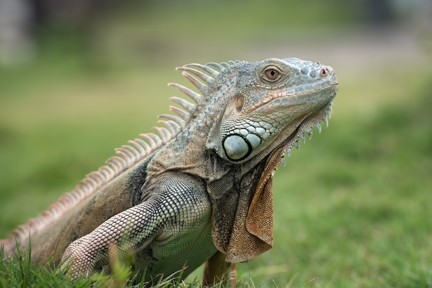 Grande iguana rossa che cammina sull'erba