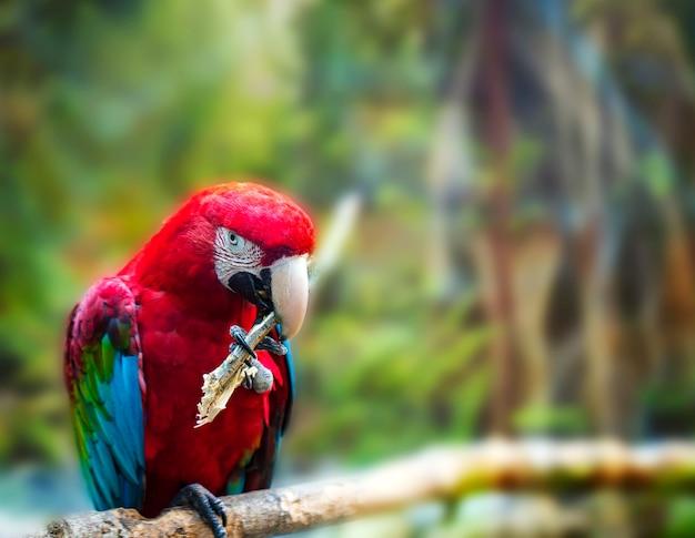 Il grande pappagallo rosso ara rosso e verde, ara chloroptera, seduto sul ramo