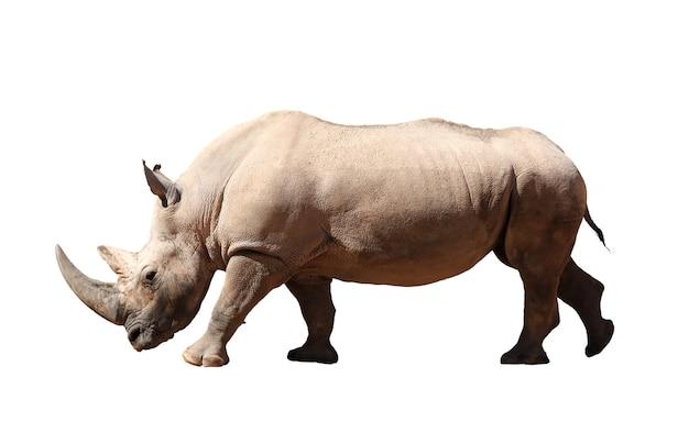 Un grande rinoceronte in piedi su uno sfondo bianco