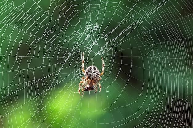 Grande ragno mangia una mosca su una tela