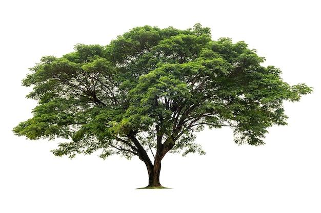 Grande albero isolato su sfondo bianco