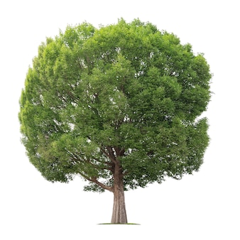 Grande albero isolato su bianco