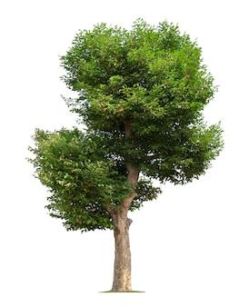 Grande albero isolato