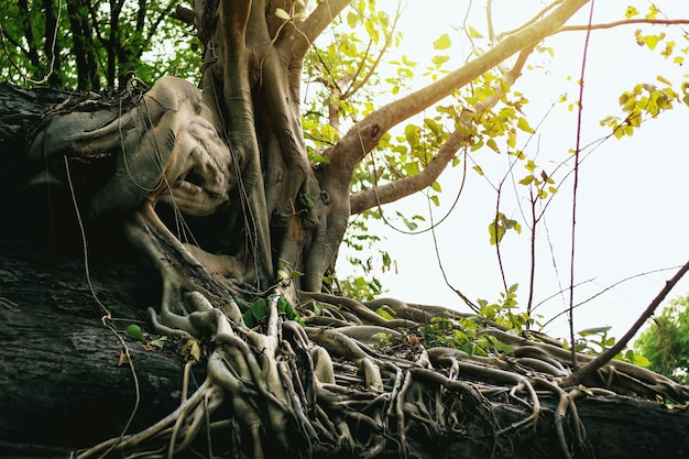 Un grande albero su una roccia con belle radici.