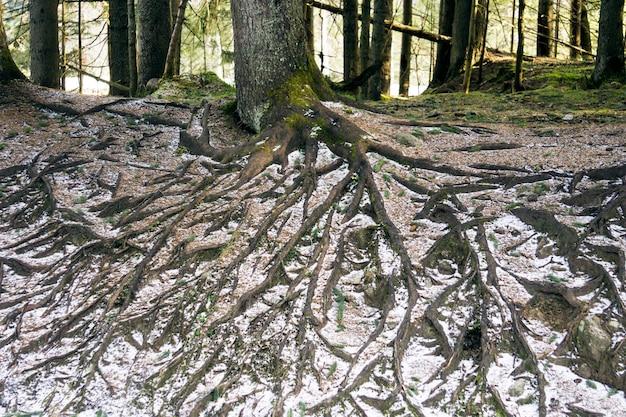 Grandi radici degli alberi nella foresta. natura