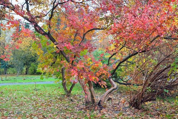 Grande albero con fogliame rosso nel parco cittadino d'autunno dorato
