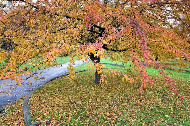Grande albero con fogliame rosso e giallo nel parco cittadino autunnale dorato