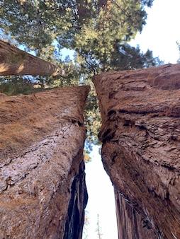 Grandi alberi del parco nazionale della sequoia