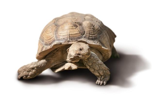 Grande tartaruga isolata
