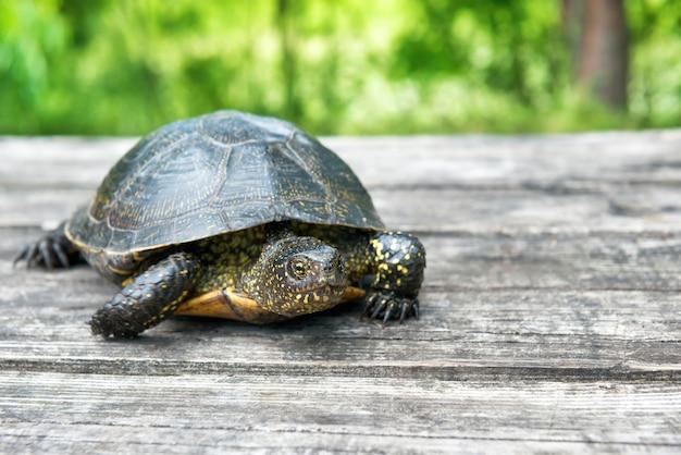 Grande tartaruga sulla vecchia scrivania in legno con erba soleggiata sullo sfondo