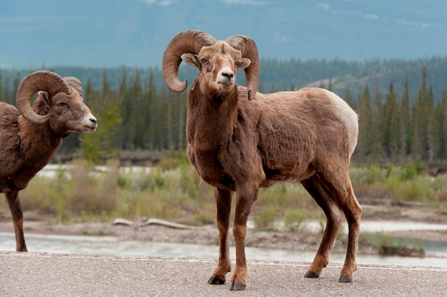 Pecore bighorn (canadensis del ovis), jasper national park, alberta, canada