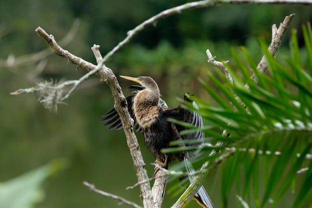 La biguatinga anhinga anhinga è un uccello acquatico che attira l'attenzione per le sue dimensioni