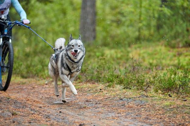 Bikejoring sled dog mushing race. i cani da slitta husky tirano una bicicletta con il musher del cane. concorso d'autunno.