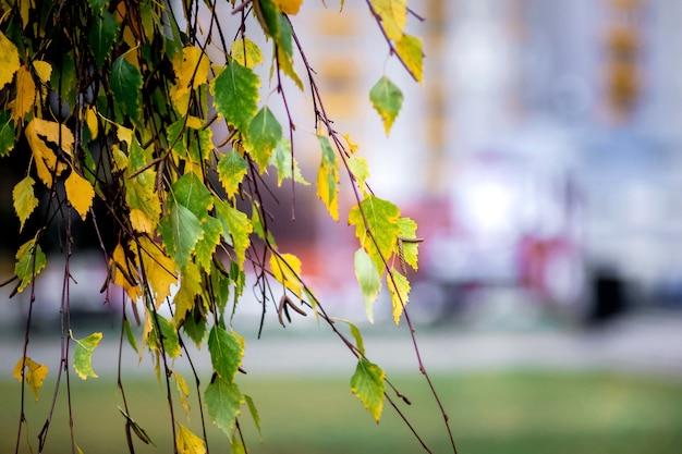 Ramo di betulla con foglie gialle e verdi sullo sfocato della strada cittadina in autunno