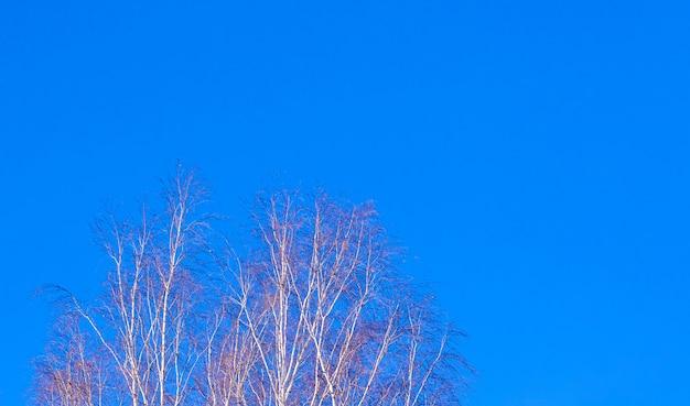 Rami di betulla contro il cielo blu