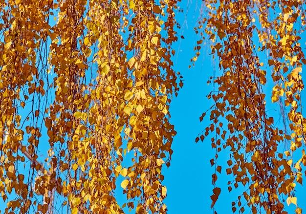 Rami di betulla con foglie gialle su uno sfondo di cielo
