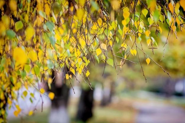 Rami di betulla con foglie gialle che incombono sul vicolo
