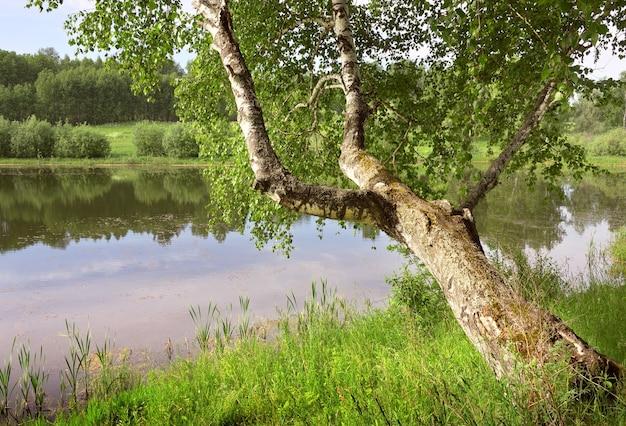 Betulla sul lago nella foresta il tronco di un albero con fogliame fitto si sporse sull'acqua