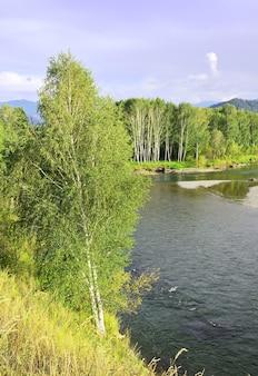 Betulla sul pendio della sponda del fiume nei monti altai sotto il cielo blu siberia russia