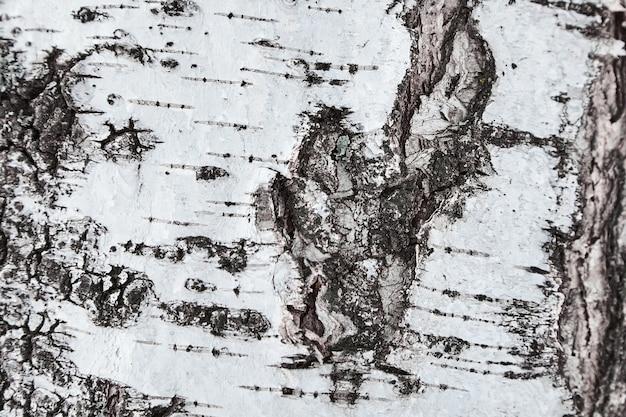 Dettagli di corteccia di betulla. avvicinamento. sfondo o texture