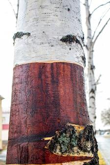 L'albero di betulla. vista ravvicinata della corteccia di betulla per texture di sfondo. la superficie della corteccia come sfondo astratto.