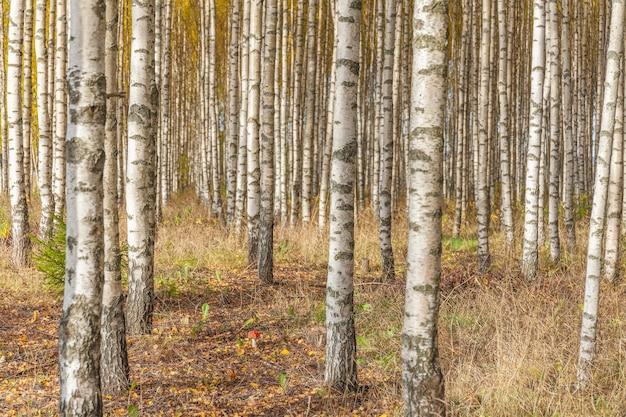 Alberi di betulla con foglie verdi fresche in autunno
