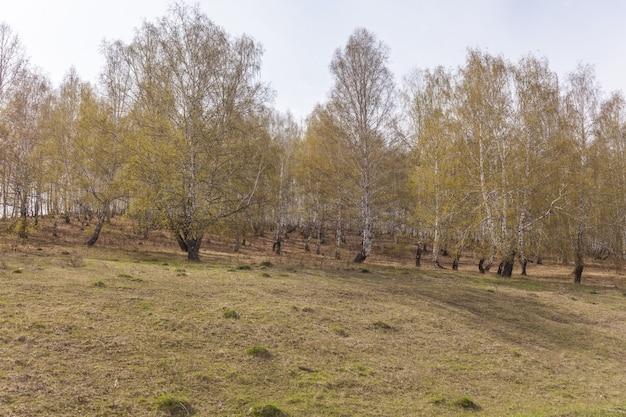 Betulle con foglie verdi fresche in primavera. russia