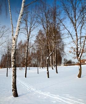 Le betulle che crescono nel parco in una stagione invernale
