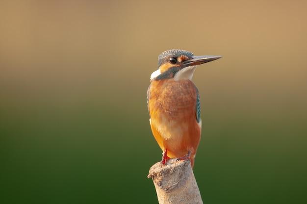 Martin pescatore comune uccello alcedo attis si siede su un bastone.