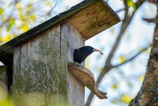 Uccello che alimenta i bambini nella casa di legno degli uccelli che appende sull'albero di betulla all'aperto
