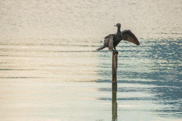 Uccello noto come cormorano, in piedi su un tronco di legno che prosciuga dopo un tuffo nella laguna rodrigo de freias a rio de janeiro in brasile.