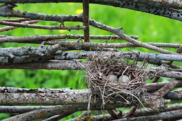 Nido di uccelli in natura