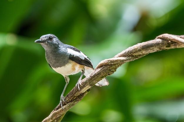 Uccello gazza orientale pettirosso su un ramo