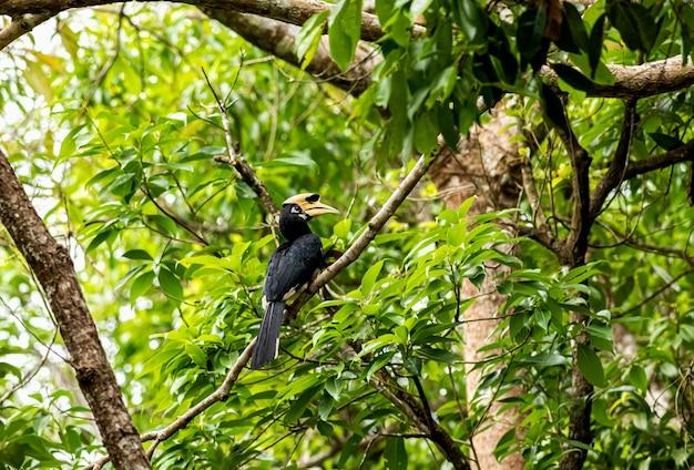 Uccello bucero pezzato orientale anthracoceros albirostris che vola su sky
