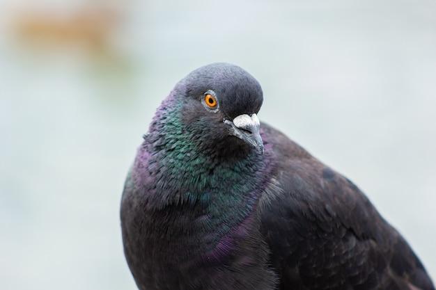 Piccione uccello con piume multicolori ravvicinata di un piccione