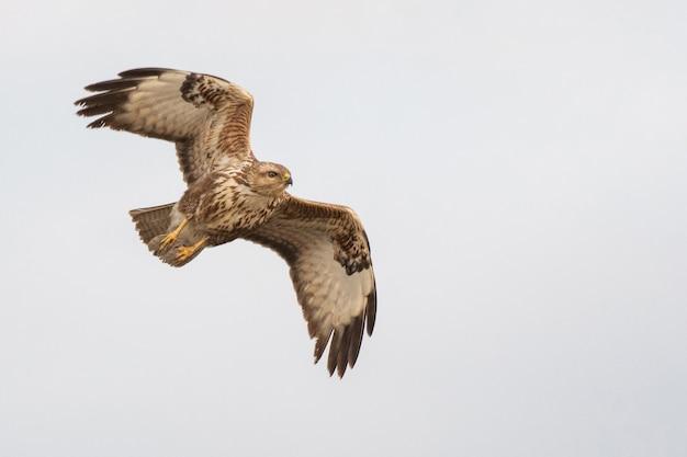 Uccello rapace poiana comune in volo. buteo buteo.