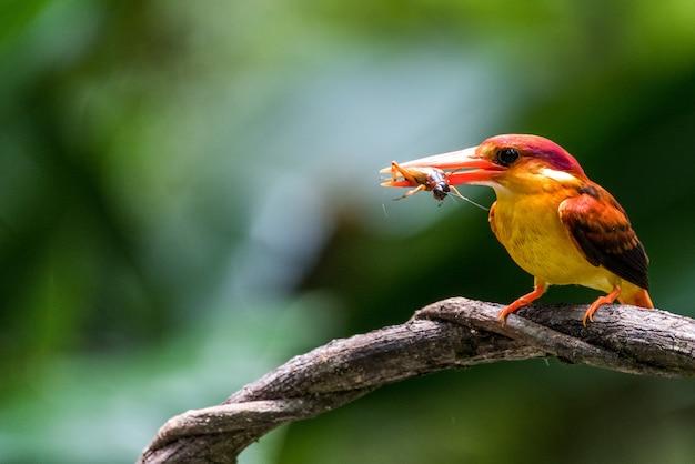 Uccello rufous sostenuto martin pescatore nano che mangia un insetto