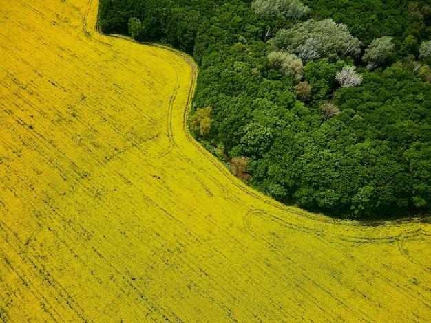 Vista a volo d'uccello da un drone di un raccolto di colza di passaggio, vista aerea del campo di fiori di colza primaverile.