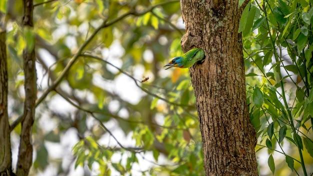 Un uccello taiwan barbet attacca una vespa asiatica dal buco, protegge il nido su un albero nella foresta di taipei. il barbet di muller è un uccello colorato.